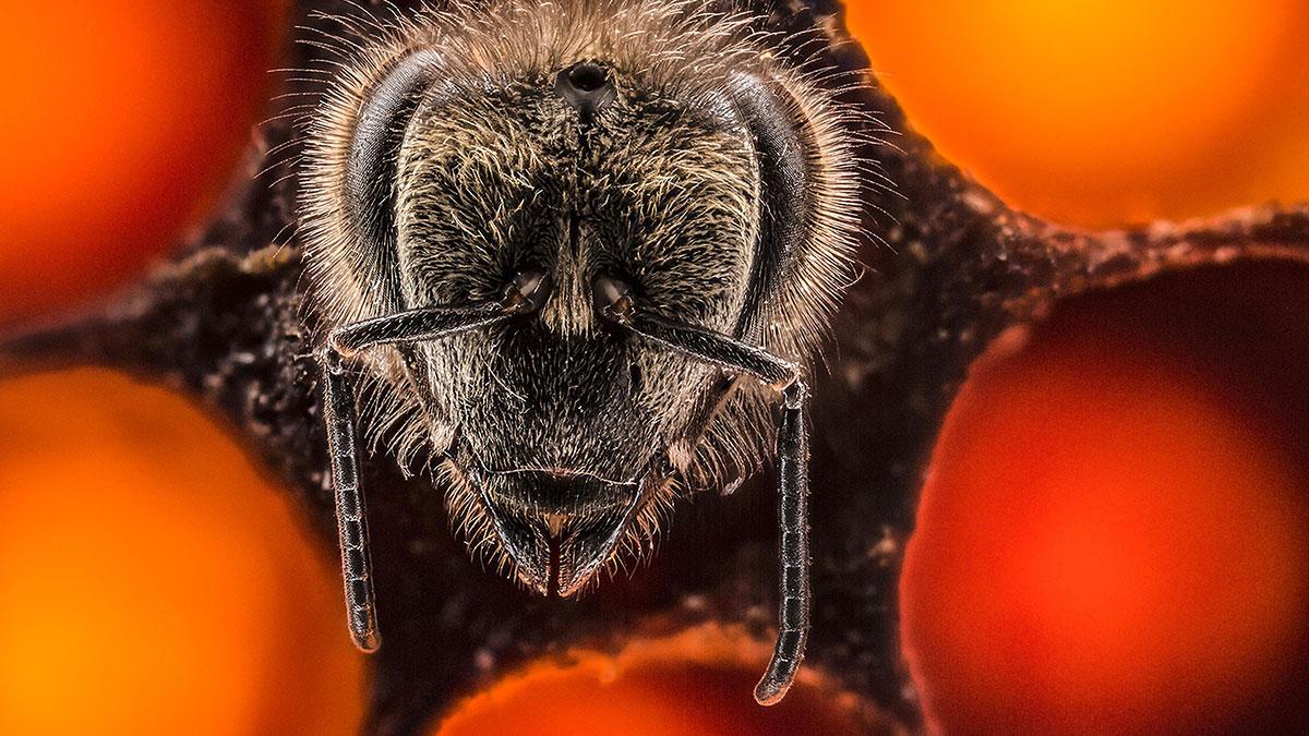 سخنرانی تد : نگاهی هیجان انگیز به ۲۱ روز اول زندگی زنبوران عسل